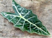 Foglia verde scuro, sanderiana di Alocasia, pianta di Kris, fondo di legno Fotografia Stock Libera da Diritti