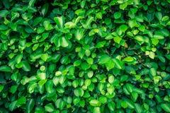 Foglia verde sugli ambiti di provenienza della natura Immagini Stock Libere da Diritti