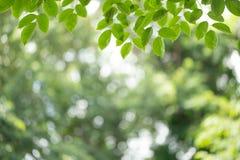 Foglia verde sul fondo vago della pianta Bella struttura della foglia in natura Sfondo naturale primo piano della macro con spazi immagini stock