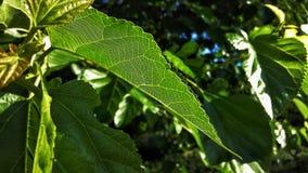 Foglia verde sull'albero Immagini Stock