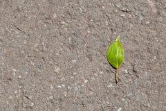 Foglia verde sull'asfalto Fotografia Stock Libera da Diritti