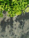 Foglia verde sulla vecchia parete di lerciume fotografie stock