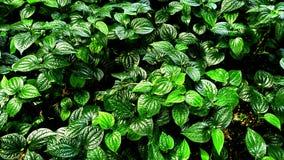 Foglia verde tropicale Fotografia Stock Libera da Diritti