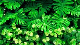 Foglia verde tropicale Immagini Stock