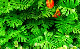Foglia verde tropicale Fotografia Stock