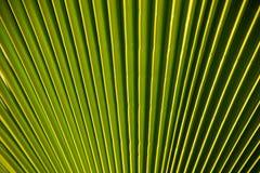 Foglia verde vibrante della palma fotografia stock libera da diritti