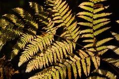 Foglia vibrante della felce di autunno fotografie stock libere da diritti
