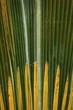 Fogliame astratto e fanlike dei palmettos in Florida Fotografia Stock