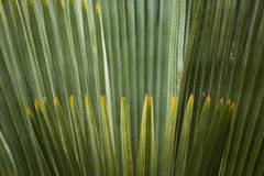 Fogliame astratto e fanlike dei palmettos in Florida Immagini Stock