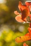 Fogliame autunnale di rosso di spirito degli ambiti di provenienza Immagini Stock