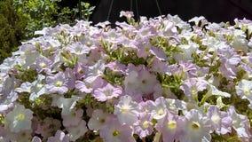 Fogliame dei fiori bianchi porpora di verde giallo immagine stock