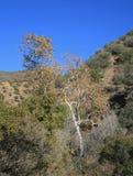 Fogliame del canyon di Horn Fotografie Stock Libere da Diritti