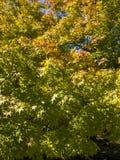 Fogliame dell'albero di acero giapponese immagine stock libera da diritti