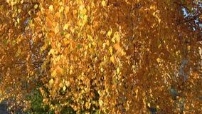 Fogliame della betulla gialla in autunno dorato archivi video