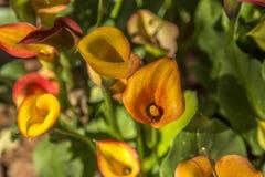 Fogliame della pianta del fiore della calla fotografia stock