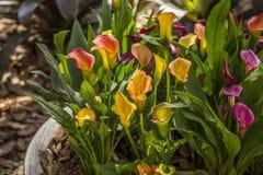 Fogliame della pianta del fiore della calla fotografia stock libera da diritti