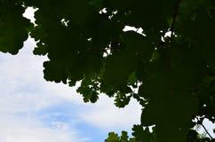 Fogliame della quercia fotografia stock libera da diritti