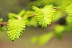 Fogliame della sequoia di alba immagine stock