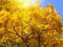 Fogliame di autunno dell'acero Immagine Stock Libera da Diritti