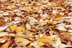 Fogliame di autunno Fondo con le foglie variopinte di autunno Backgrou Fotografia Stock