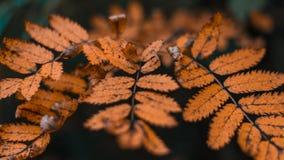 Fogliame di autunno nella città in natura Foglie dell'arancia nel parco Primo piano di bello fogliame Fotografie Stock Libere da Diritti