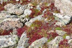 Fogliame di autunno - tundra alpina nei colori di caduta, Rocky Mountains, U.S.A. Immagini Stock Libere da Diritti