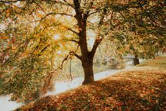 Fogliame di caduta Autumn Yellow Golden Linden Tree Immagini Stock