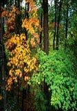 Fogliame di caduta nella foresta Fotografia Stock