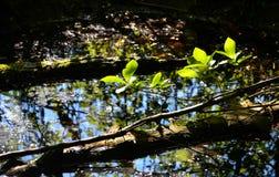 Fogliame di tenerezza della primavera Fotografia Stock