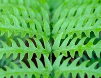 Fogliame di verde della foglia delle felci di Beautyful del primo piano Immagini Stock Libere da Diritti