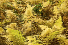 Fogliame dorato delle felci hayscented in cavità di Bigelow, Connecticu Fotografia Stock