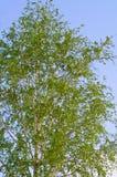 Fogliame fertile della betulla di estate. Ambiti di provenienza della natura Fotografia Stock