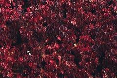 Fogliame fertile di autunno dalle foglie rosse fotografia stock