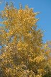 Fogliame giallo della betulla di autunno Immagini Stock Libere da Diritti