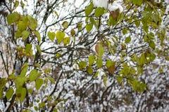 Fogliame lilla nella prima neve Fotografia Stock Libera da Diritti