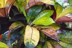 Fogliame multicolore denso vistoso del variegatum tropicale del codiaeum di ficus della pianta della casa fotografie stock