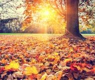 Fogliame pieno di sole di autunno Immagine Stock