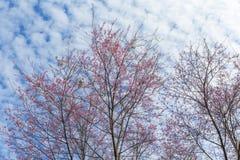 Fogliame rosa del fiore di Sakura del fiore di ciliegia di inverno contro il cielo b Immagine Stock
