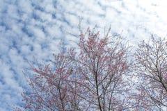 Fogliame rosa del fiore di Sakura del fiore di ciliegia di inverno contro il cielo b Fotografie Stock