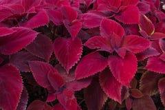 Fogliame rosso, coleus della testarossa fotografie stock