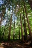 Fogliame Slovenia della foresta immagine stock libera da diritti