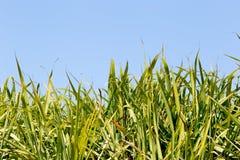 Fogliame superiore del raccolto della canna da zucchero nel campo con cielo blu Immagini Stock
