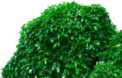 Fogliame verde Immagini Stock Libere da Diritti