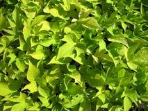 Fogliame verde Immagine Stock