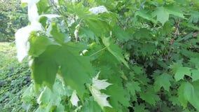Fogliame verde della molla di giovane acero nel vento stock footage