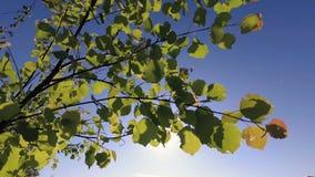 Fogliame verde della molla di giovane tremula nel vento archivi video