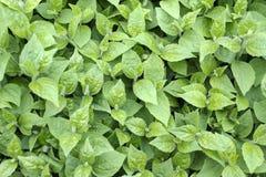 Fogliame verde della primavera fotografia stock