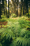 Fogliame verde delle foglie delle felci nel parco conifero di Forest Green Fern Bushes In di estate fra il legno, fotografie stock libere da diritti