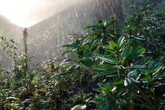 Fogliame verde fertile nella pioggia dello spruzzatore Immagine Stock Libera da Diritti