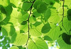 Fogliame verde fresco Fotografie Stock Libere da Diritti